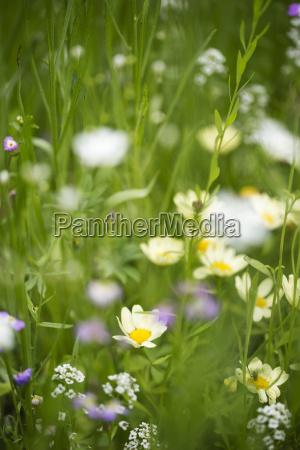 blume pflanze gewaechs sommer sommerlich margerite