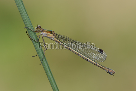 female emerald damselfly on blade of