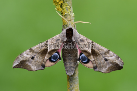 eye hawk moth on branch