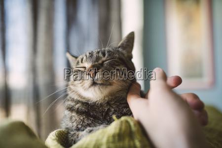 hand des mannes streicht getigerte katze