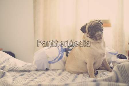 pug sitting on bed looking up