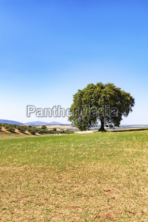 spain andalusia olive tree with olive