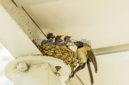 swallow feeding young birds in nest