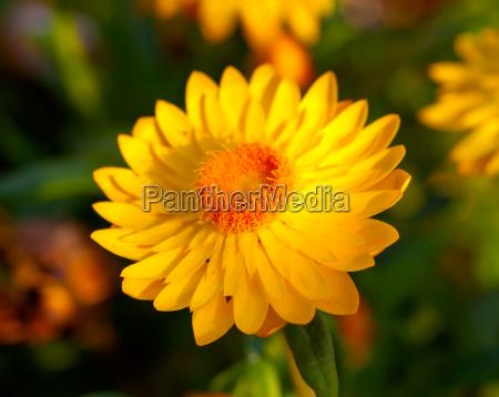 garden strohblume xerochrysum bracteatum is a