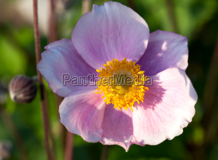 the anemones form a genus of