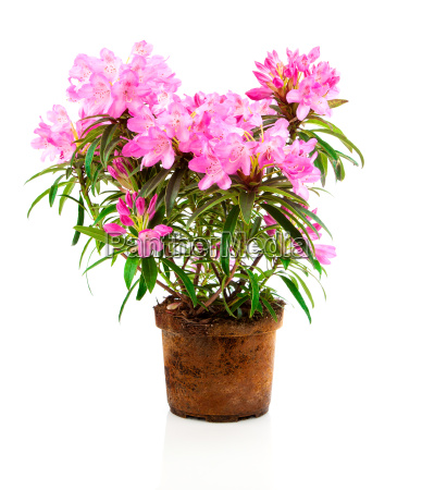 rhododendron blumen
