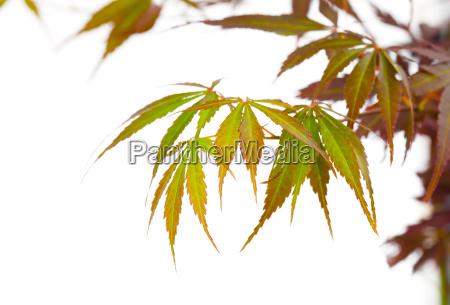 japanische rote ahornbaum blaetter acer palmatum