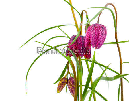fritillaria german chess flower is a