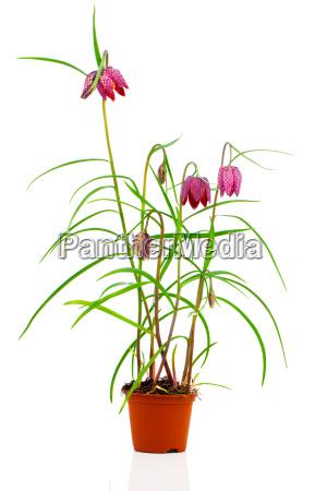 fritillaria deutsch schachblume ist eine pflanzengattung