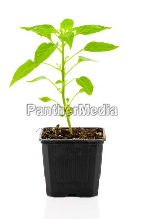 pepperoni saemlinge pflanze in einem topf