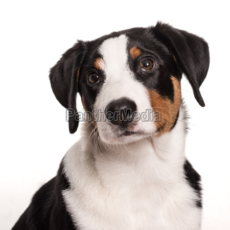 appenzeller sennenhund schaut bedrueckt