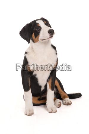 appenzeller sennenhund macht sitz