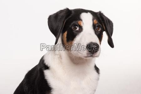 appenzeller sennenhund im portrait freigestellt