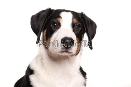 dog face of an appenzeller sennenhund