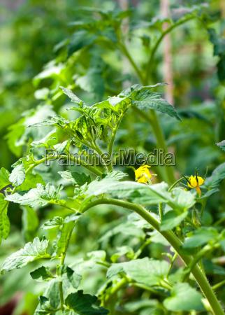 flowering tomato in vegetable garden
