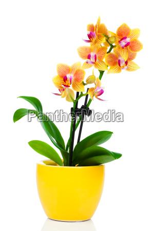 orchidee oder orchideengewaechse orchidaceae