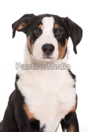 appenzeller, sennenhund, - 19348070