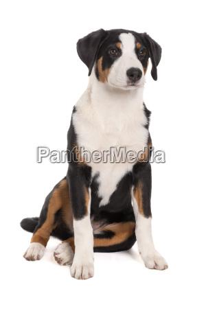 appenzeller, sennenhund, macht, sitzt, - 19348074