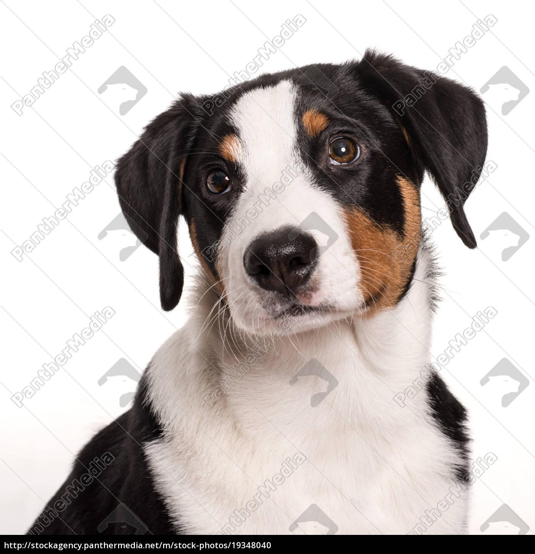 appenzeller, sennenhund, schaut, bedrückt, - 19348040