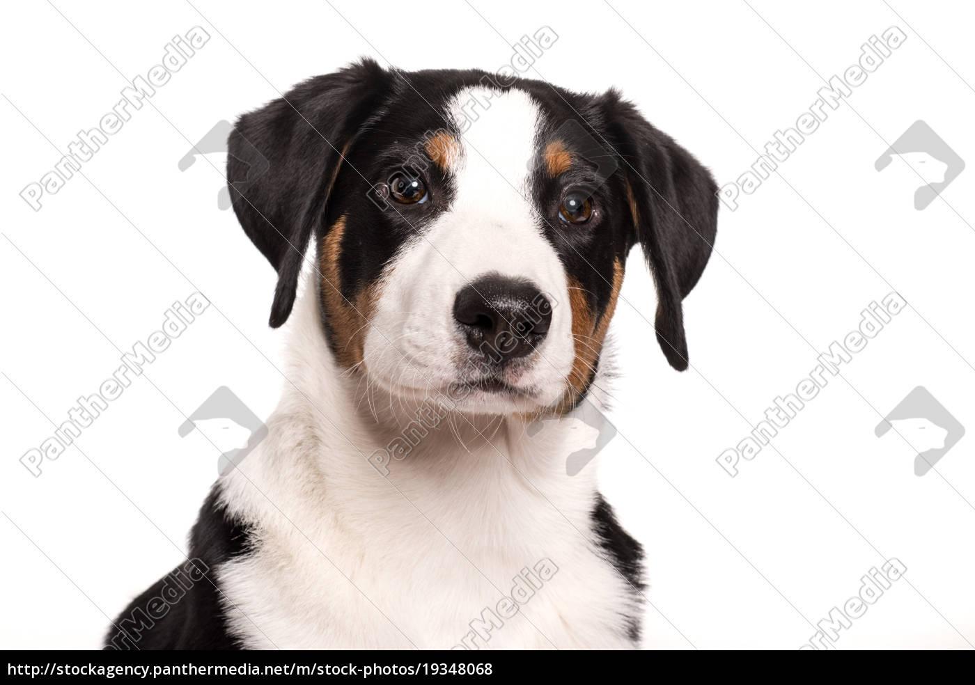 hundegesicht, eines, appenzeller, sennenhund, - 19348068