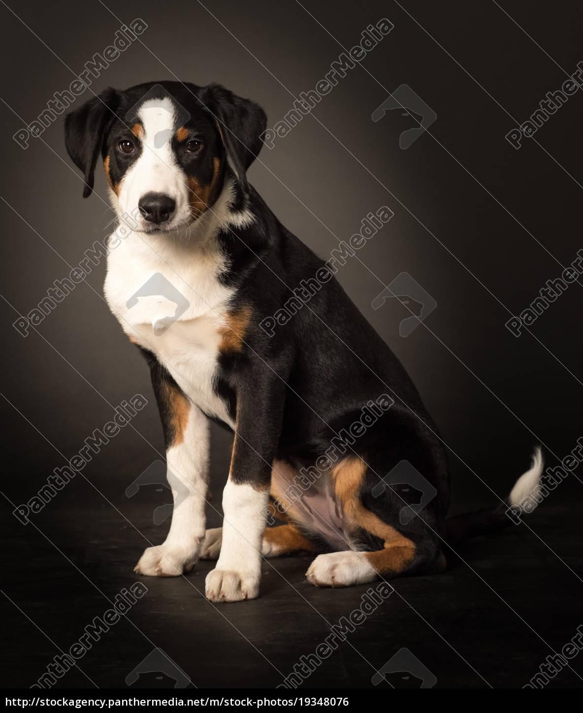 junghund, im, seitenprofil, macht, sitzt, - 19348076