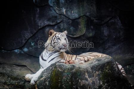 weisser tiger tiger on a rock