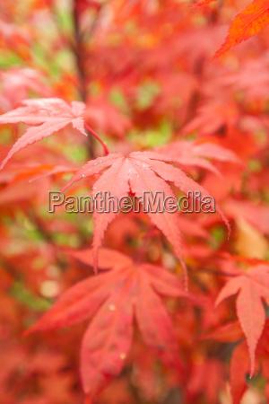 japanischer faecherahorn acer palmatum