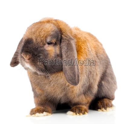 braun kaninchen