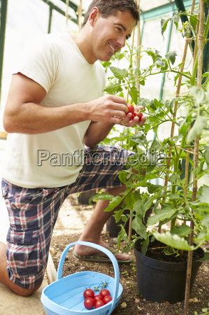 man harvesting home grown tomatoes in