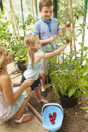 mother and children harvesting tomatoes in