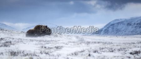 musk ox in a winter landscape