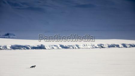 long exposure of lonely arctic fox