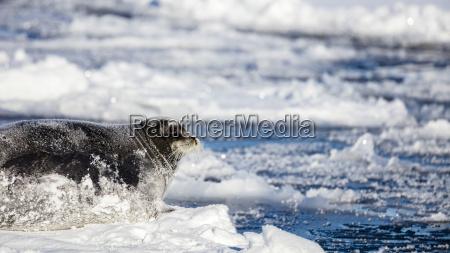 big bearded seal lying on a
