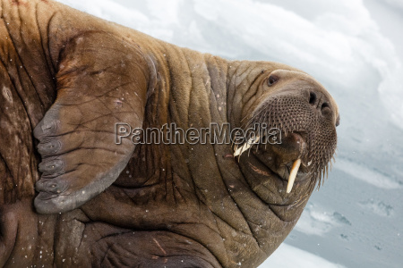 close up of walrus lying in