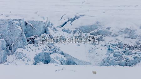 winter tier eisbaer arktis horizontal norwegen
