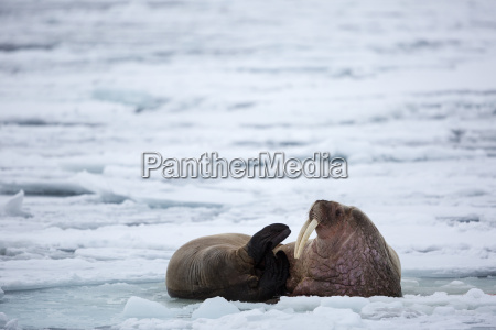 two walruses resting on the pack