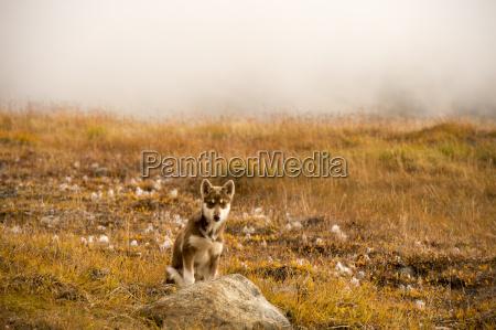husky welpen groenland huegel