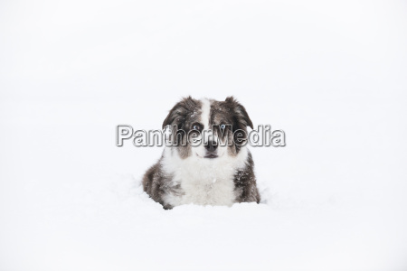 australian shepherd sitting contently surrounded by