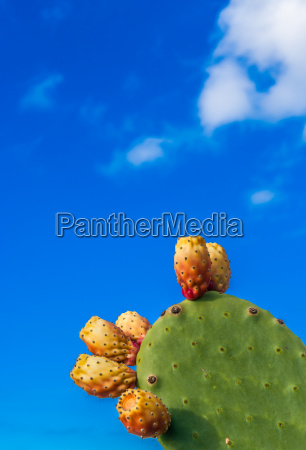 cactus with prickly pear in front