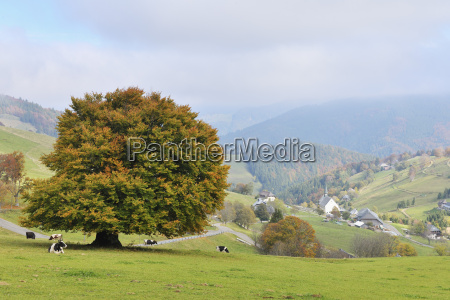beech tree and overview of town