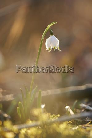 close up of spring snowflake leucojum