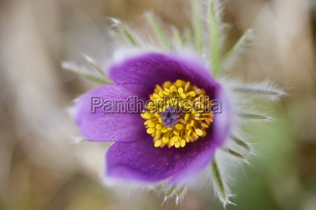 close up of common pasque flower