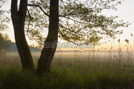 trees on misty morning in spring