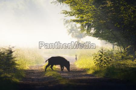 schattenbild des wilden ebers auf einem