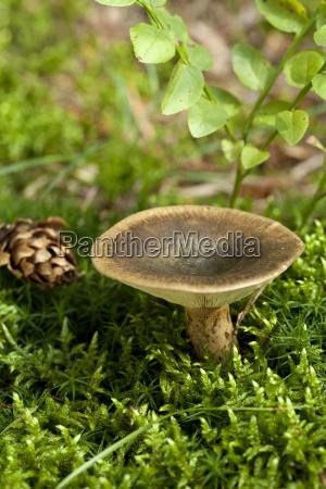 lactarius turpis