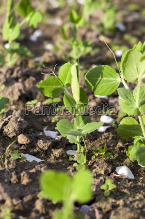 junge gruene erbsen