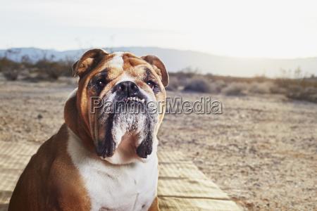 portraet der jowly bulldogge im trailer