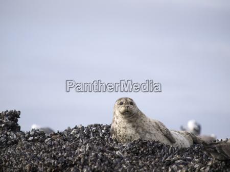 harbor seal common seal phoca vitulina