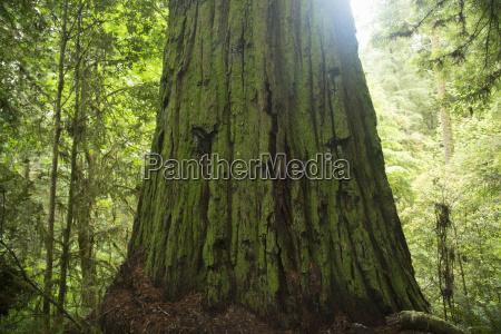 tree trunk redwoods national park california