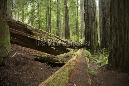 fallen trees redwoods national park california